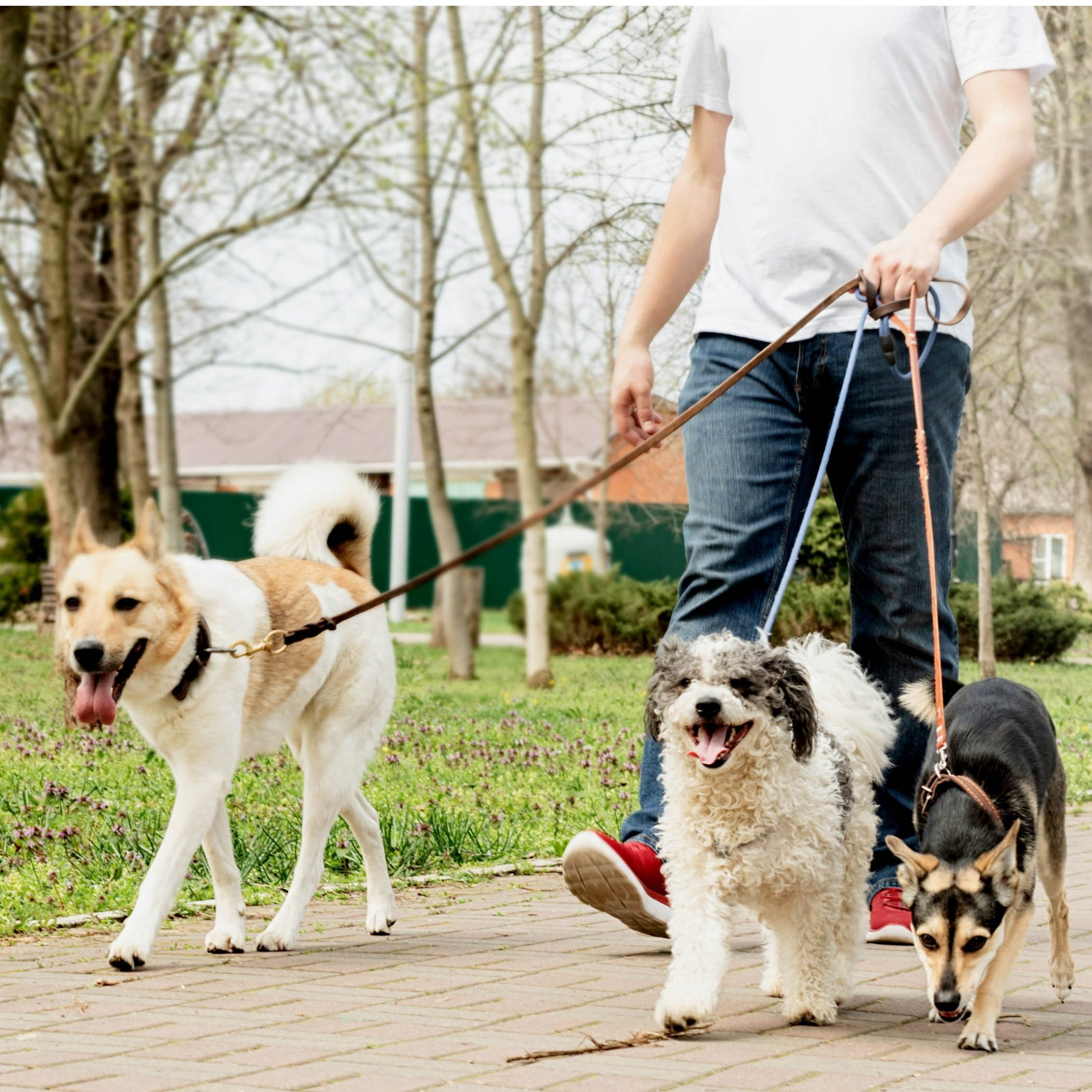 Professional male dog walker walking a pack of dogs on park trail